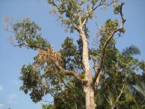 Ada tiga batang pokok durian dalam kawasan rumah RSPP. Buahnya agak banyak.